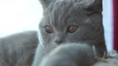 Gray cat hamming Stock Footage