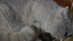 Cat swears Stock Footage