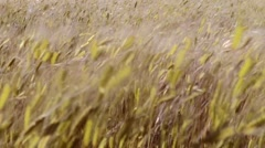 ears of wheat swaying in the breeze at sunset - stock footage