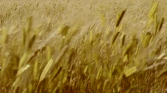 Ears of wheat swaying in the breeze at sunset Stock Footage
