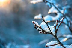 Tree branch covered with snow and drops during sunset in winter forest Stock Photos