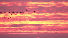 Flying flock of geese at sunrise red sky. Stock Footage