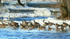 Flock of Geese Enjoying Winter on Icy Shore with Waterfalls Stock Footage