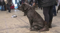 Neapolitan or Italian Mastiff sitting next to owner,low angle view Stock Footage