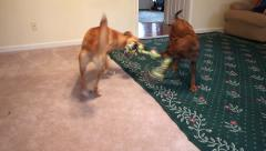 Two dogs playing tug of war with big rope Stock Footage