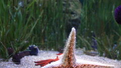 Big red starfish crawling on the glass wall aquarium Stock Footage