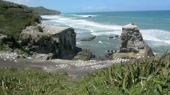 Muriwai gannet colony - New Zealand Stock Footage