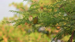 Japanese White Eye Bird in Hawaii - stock footage