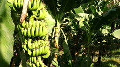 Banana tree plantation in egypt Stock Footage