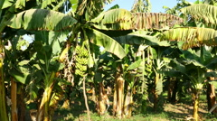 Banana tree plantation in egypt - pan view - stock footage