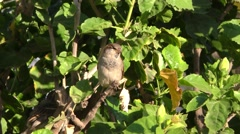 House aka English Sparrow Exotic Species in Hawaii Stock Footage