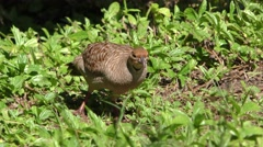 Exotic Grey Francolin Grouse in Hawaii Stock Footage