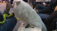 Groomer trimming German Spitz,owner combing his beautiful dog Stock Footage