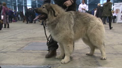 Beautiful and big Caucasian Shepherd dog,zoom in to head close up Stock Footage