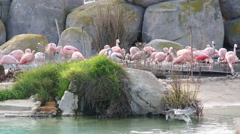 Large pink Flamingo cleans feathers Stock Footage