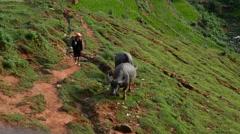 Child Walking Ox in a Rice Field - Sapa  Vietnam Stock Footage
