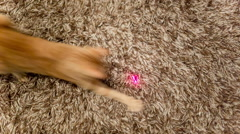 Cat with Laser Pointer - Crazy Orange Tabby Kitty Having Fun with Toy Stock Footage