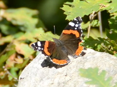 Butterfly on a stone. Related clips are in my portfolio in 1920x1080. Stock Footage