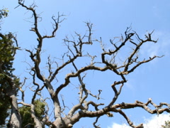 Tree branches against the sky. Related clips are in my portfolio in 1920x1080. Stock Footage