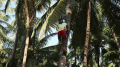 Indian man climbing a palm tree for harvest coconut. Stock Footage