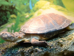 Overland turtle. Related clips are in my portfolio in 1920x1080. - stock footage