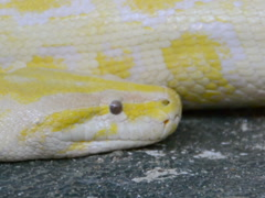 Yellow python. Related clips are in my portfolio in 1920x1080. Stock Footage