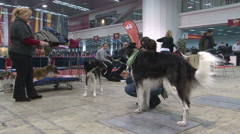 Russian wolfhounds, Borzoi with their female owners in hall at the dog show Stock Footage