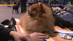 Grooming Pomeranian Spitz,groomer comb dog Stock Footage