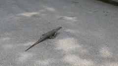 Lizard running on asphalt Stock Footage