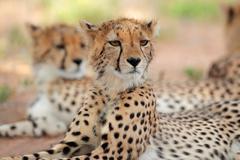 Stock Photo of Alert Cheetah