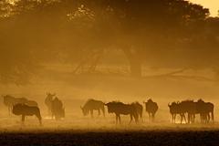 Blue wildebeest in dust - stock photo
