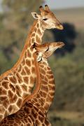 Stock Photo of Giraffe interaction