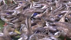 Ducks lots, tight shot Stock Footage
