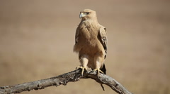 Tawny eagle perched on a branch, Kalahari desert, South Africa Stock Footage