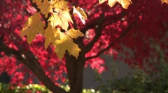 Fall trees montage, great colour Stock Footage