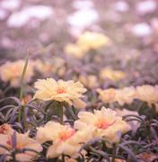 Yellow portulaca in vintage style color Stock Photos