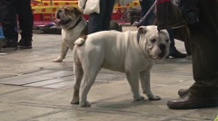 Two Engilsh Bulldog in the crowd,people passing around,close up Stock Footage