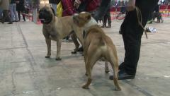 Meeting stafford terrierr and Boxer dogs in hall at the dog show Stock Footage
