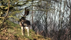 Stag viewed on a sunny day. Stock Footage