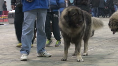 Beautiful,huge Shepherd-Sharplaninac breed tied on the chain at the dog show. Stock Footage