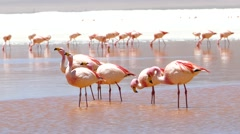 Lagoon flamingo bolivia Stock Footage