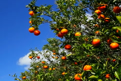 Stock Video Footage of Oranges ripen on tree on a sunny breezy day