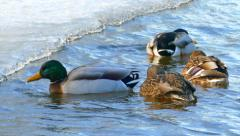 Mallard Ducks Swimming Fast in Frigid Cold Waters Stock Footage