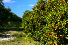 Florida Kumquat grove on sunny breezy day - stock footage