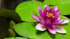 Time lapse opening of water lily flower.Lotus flower Stock Footage