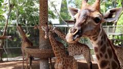 Big giraffes in zoological garden Stock Footage