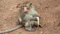 Rhesus macaque sits on the ground and eats banana Stock Footage