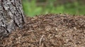 Ants in big anthill in forest Footage