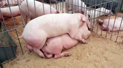 Pigs have sex on livestock farm - stock footage
