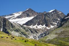 braunschweiger hütte in the ötztal alps in austria with some cows in the fo - stock photo